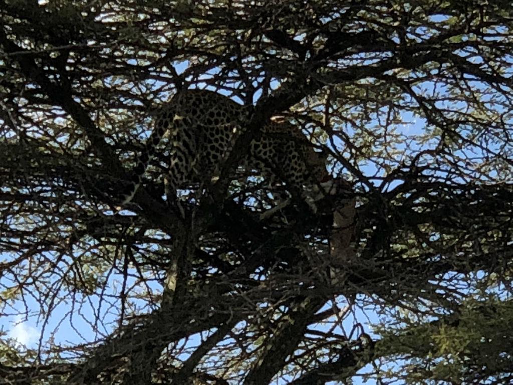 Leopard ejoying his prey
